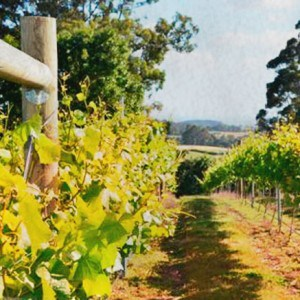 Barringwood Vineyard